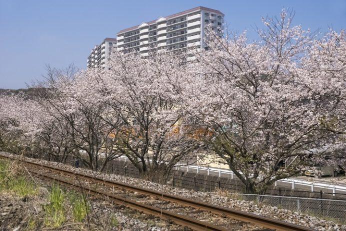 西高田JR線路沿い(長与町)の桜