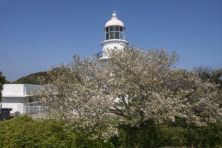 「樺島灯台公園で花見」(長崎市野母崎)【ロケーションが素晴らしいサクラ園】