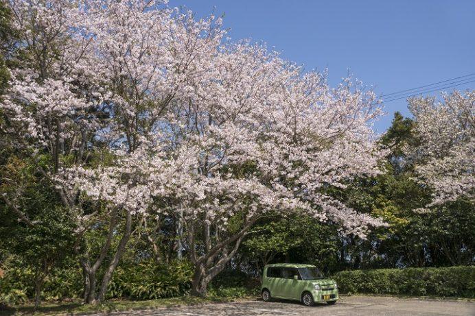 樺島灯台公園(長崎市)の桜、花見
