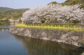 【1,500本の桜で花見!】伊佐ノ浦公園(西海市)~BBQできます