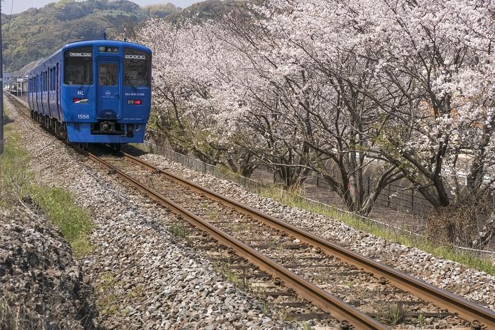 「西高田JR線路沿いの桜並木」(長与町)【菜の花まつり in 高田】