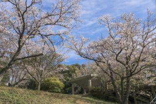 「権現山展望公園の桜」(長崎市野母崎)【花見での使い勝手は?】~軍艦島が見えます!