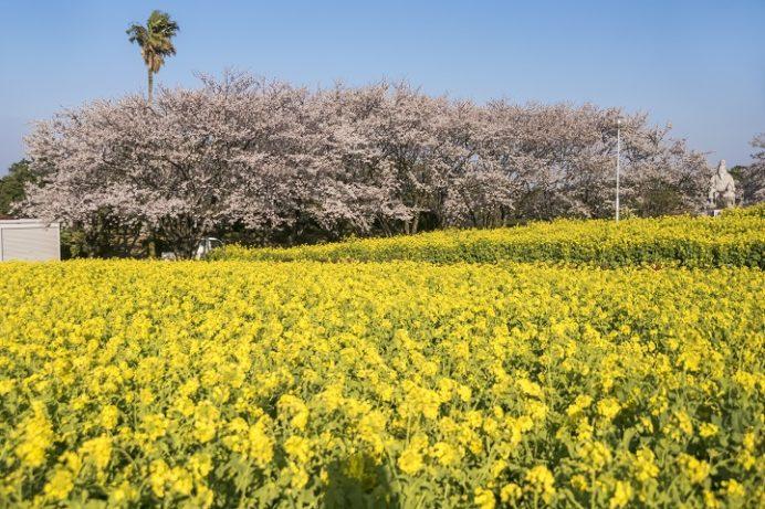 有明の森フラワー公園(長崎県島原市有明町)の菜の花、桜