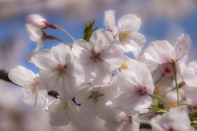 のぞみ公園(諫早市多良見町木床)の桜、花見
