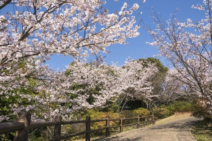 尾崎公園(佐世保市早苗町)の桜と花見