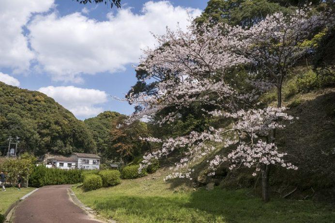 大悲観公園(佐世保市小佐々町小坂)の桜と花見