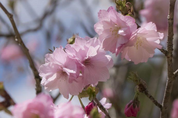 皿山公園(北松浦郡佐々町)の桜と花見