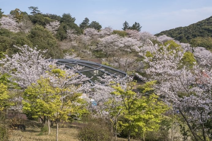 長崎県立大村湾自然公園大崎くじゃく園(東彼杵郡川棚町)の桜と花見
