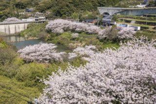 【2021年の見頃は?】「猫山ダムの桜」(佐世保市黒髪町)~オススメ穴場!