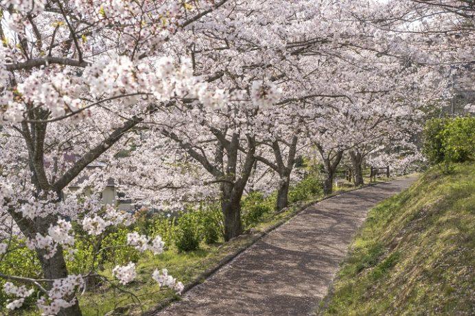 長崎県立大村湾自然公園大崎くじゃく園(東彼杵郡川棚町)の桜と花見)、大崎自然公園