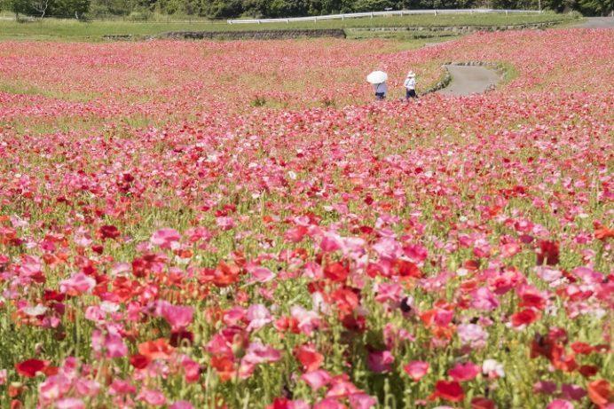 しまばら火張山花公園(長崎県島原市上折橋町)のポピー