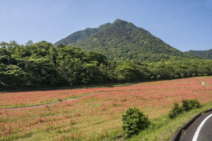 しまばら火張山公園(長崎県島原市上折橋町)のポピー