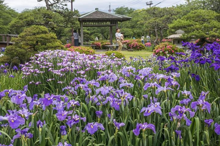 【見頃速報!】「大村公園の花菖蒲、5月25日訪園」