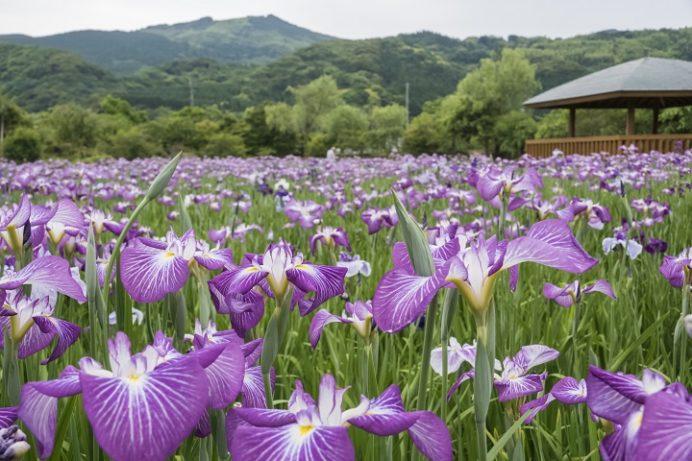 皿山公園の花菖蒲(長崎県北松浦郡佐々町)