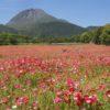 【今が満開!見頃速報2021】しまばら火張山花公園の〈500万本のポピー〉~5月10日(月)更新