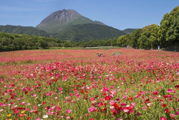 【2021見頃速報!】しまばら火張山花公園の〈500万本のポピー〉