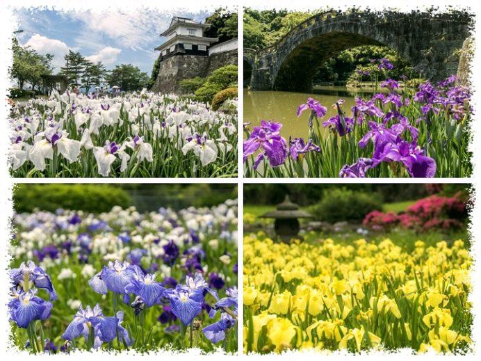 長崎県の花菖蒲園(大村公園、皿山公園、諫早公園、大崎自然公園)