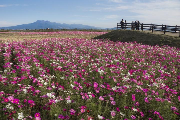 【満開到来!】「自然干陸地フラワーゾーン」(コスモス300万本/諫早)。その他、周辺コスモス園もチェック!