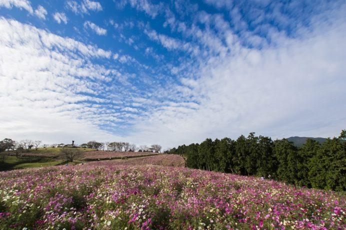 白木峰高原(長崎県諫早市)のコスモス