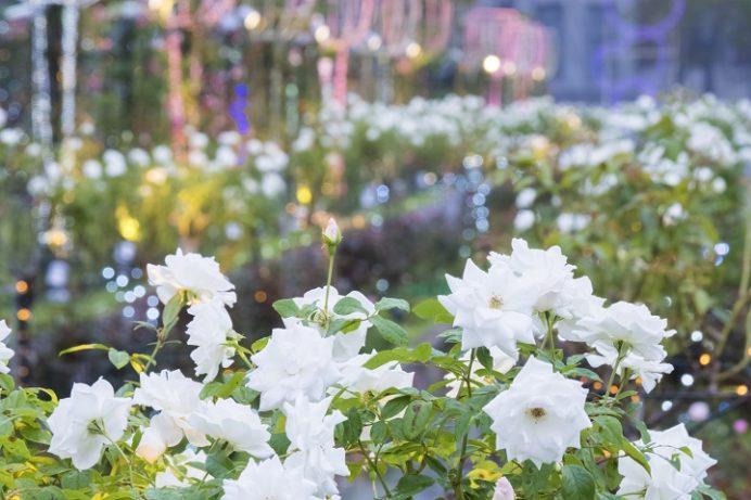 ハウステンボス(長崎県佐世保市)の秋バラ祭