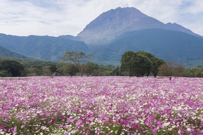しまばら火張山公園(長崎県島原市上折橋町)のコスモス