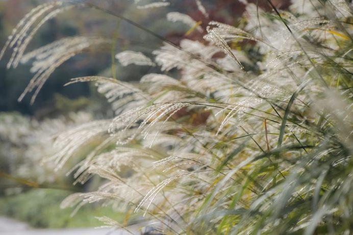 雲仙・池の原園地(長崎県)のススキ
