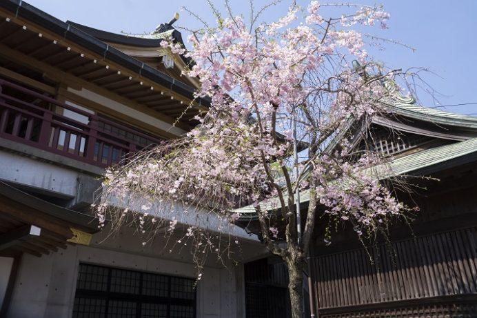鎮西大社 諏訪神社(長崎市上西山町)の大村桜