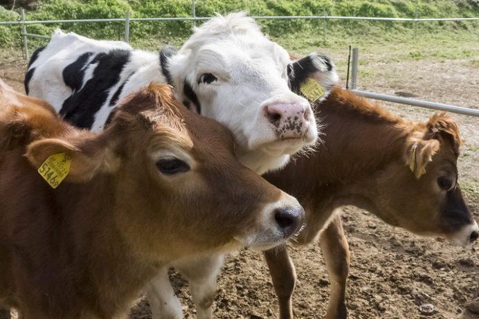 Pine Tail Farm(パインテールファーム)、雲仙市小浜町の牛