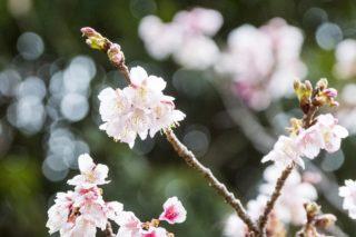【1月22日金/今が見頃】「西山神社の寒桜」(元旦桜)