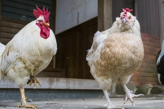 松森天満宮(松森神社)、長崎市上西山町の鶏