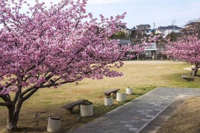 久原公園(長崎県大村市久原)の河津桜