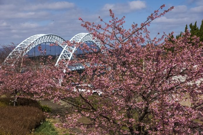西海橋公園(長崎県西海市・佐世保市針尾)の河津桜