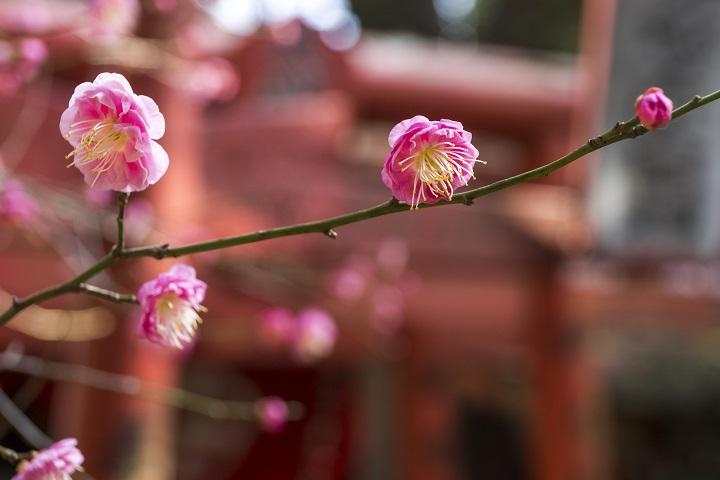【松森天満宮の梅が見頃!】1月31日(日)