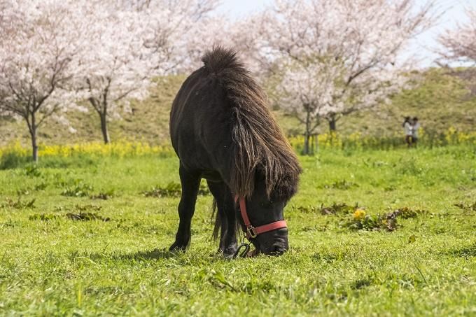 しまばら火張山花公園(長崎県島原市上折橋町)のポニー(馬)