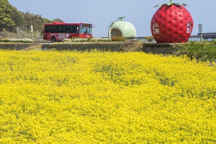 フルーツバス停(長崎県諫早市小長井)の菜の花