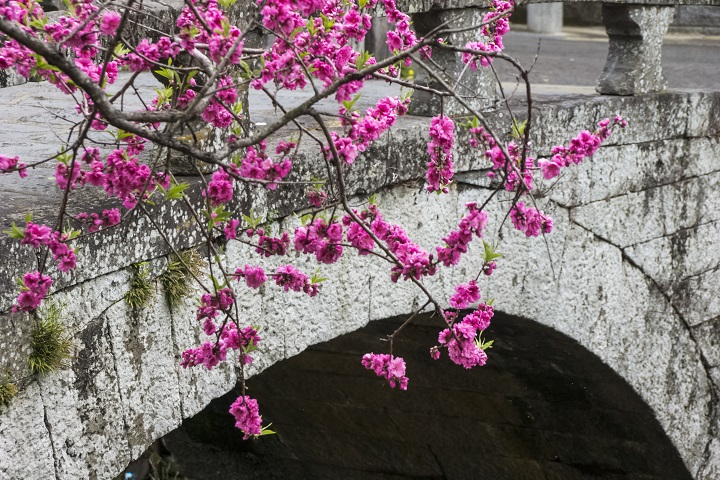 【桃溪橋の桃が見頃!】(中島川石橋群)~3月9日(火)