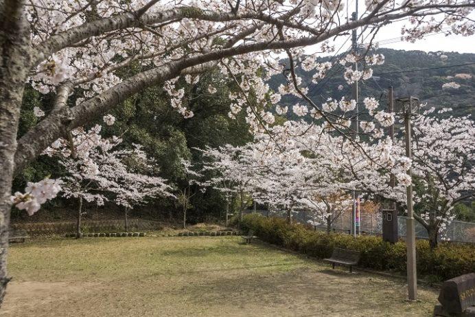 山の田浄水場(さくらの森公園)、佐世保市の桜木町)の桜と花見、桜木やまんた公園