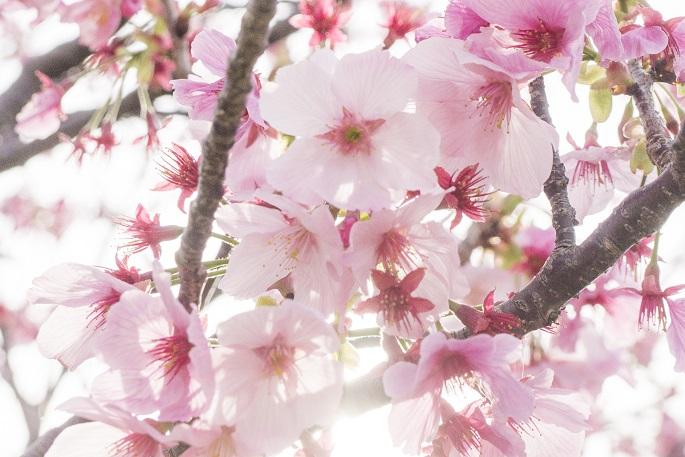 伊王島の陽光桜