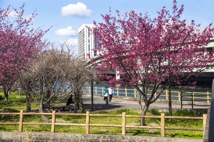 浦上川河川公園コース(三菱グラウンドそば)の大漁桜