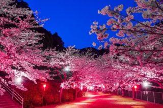 【満開日はいつ?開花速報2021!】「鹿尾川公園の桜」(長崎市)~穴場、超穴場!