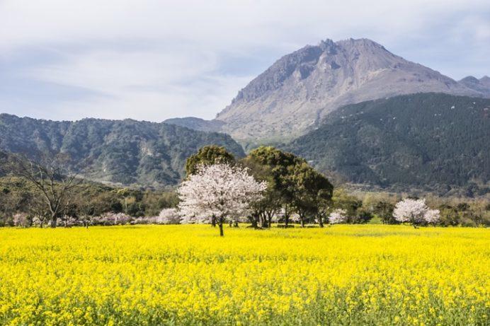 しまばら火張山花公園(長崎県島原市上折橋町)の葉の花と桜、平成新山