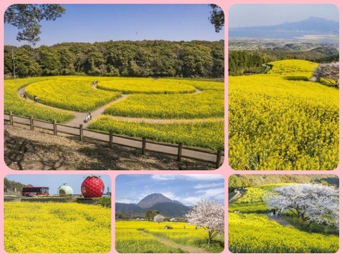 長崎県の菜の花の名所