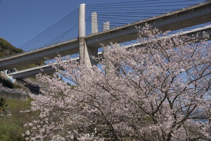 【満開日は?開花速報2021!】「芒塚砂防ダムの桜」(長崎市)~花見の超穴場!駐車場あり