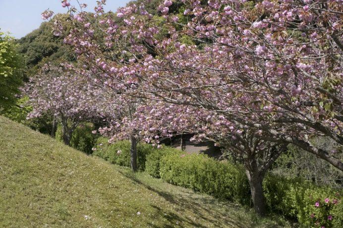 大悲観公園(佐世保市小佐々町小坂)の八重桜