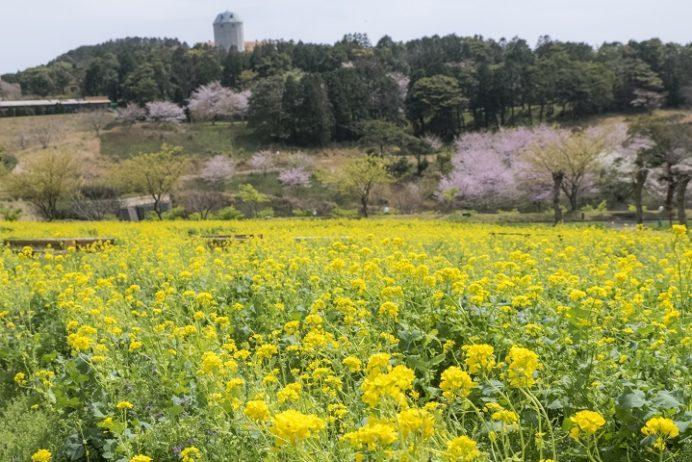 あぐりの丘(長崎市四杖町)の桜と菜の花