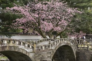 3月6日(土)【諫早公園 大寒桜が見頃!】