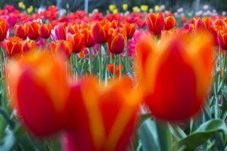 【見頃到来!】香焼チューリップ祭~3月18日(木)現地確認