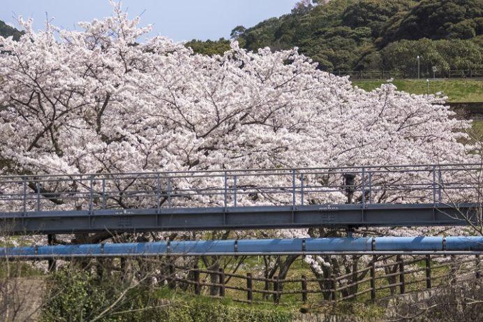 山の田浄水場(さくらの森公園)、佐世保市の桜木町)の桜と花見