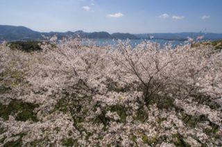 【満開はいつ?開花速報2021!】「崎野自然公園の桜」(時津町)~キャンプde花見!BBQもできる?