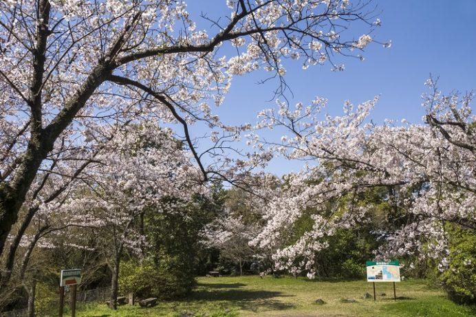 鵜渡越園地(佐世保市長坂町)の桜と花見